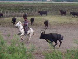 Manade et taureaux en Camargue