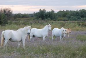 Troupeau de chevaux dans le Marais du Vigueirat