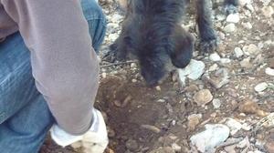 Cavage d'une truffe avec chien