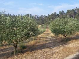 Champs d'oliviers en Provence