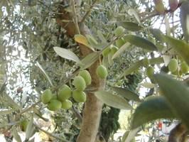 Olive Verdale de Carpentras