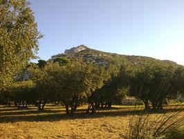 Oliviers à Maussane-les-Alpilles