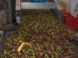 Tri et lavage des olives