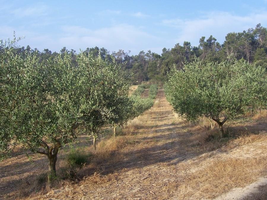 Provence tourisme s jour et visite en provence l 39 olive et l 39 huile d 39 olive - La table d olivier illkirch ...